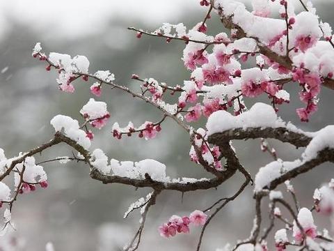 诗经植物在房陵——树中君子:梅