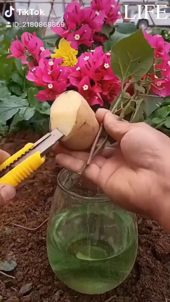 新手教学!!!植物扦插最新技术,马住!!!更多精彩内容