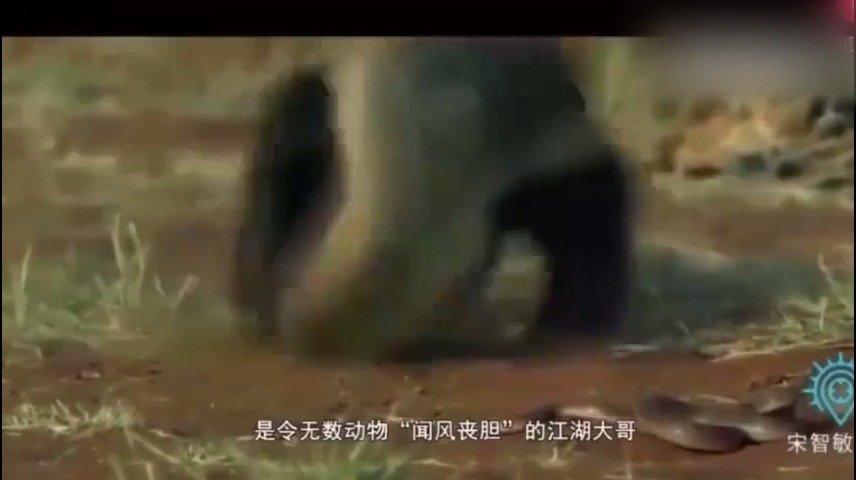 """吉尼斯世界纪录把它命名为""""最大胆的动物""""——非洲平头哥"""