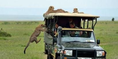 猎豹与观光车比速度,轻易追上车子,旅客冒出一身冷汗