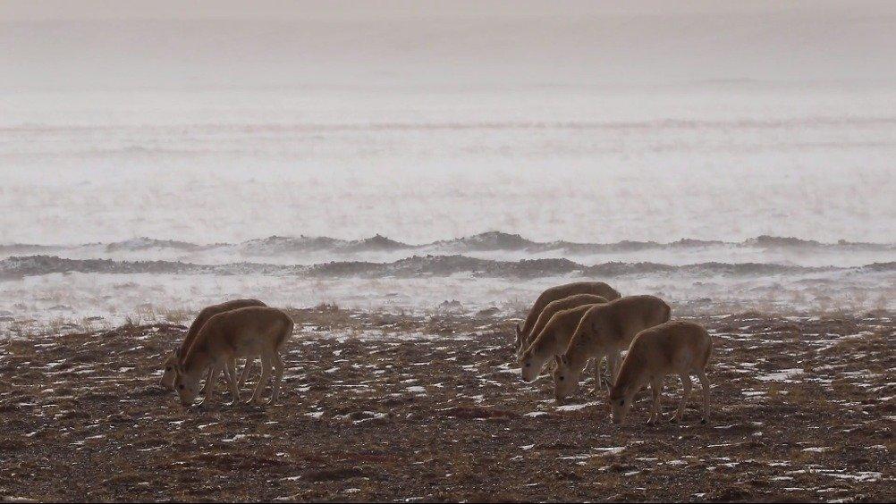 索南达杰用生命守护藏羚羊的生存空间