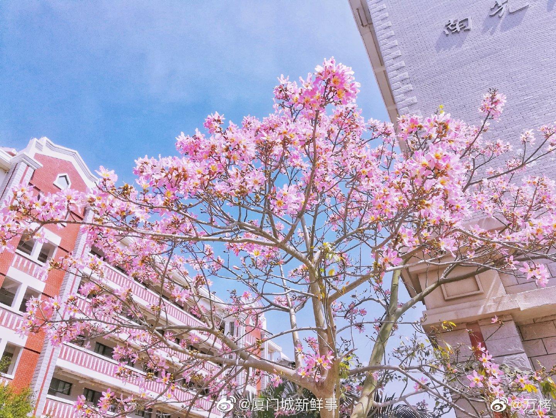 美丽异木棉花开的季节,厦门大学满树繁花。(摄影 / @万栲 )