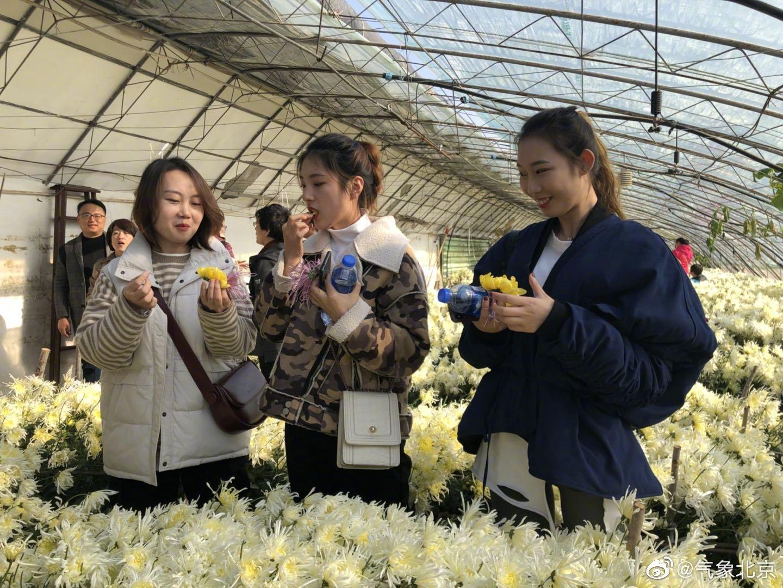 平谷区大兴庄镇的菊花美食节文化节现场食用菊花种植集中区域的大兴