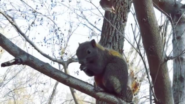 沈阳:北陵公园,嚣张的红腹松鼠,吃吃吃!(沈阳崔凯)