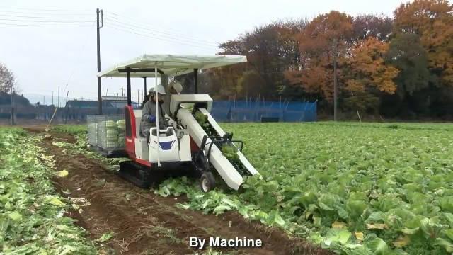日本是如何播种和收获大白菜的!和你们那儿比,效率更高了吗?