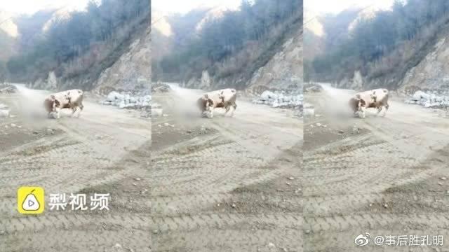 6旬老农被自家黄牛顶死,家属质疑工地噪音致牛发狂