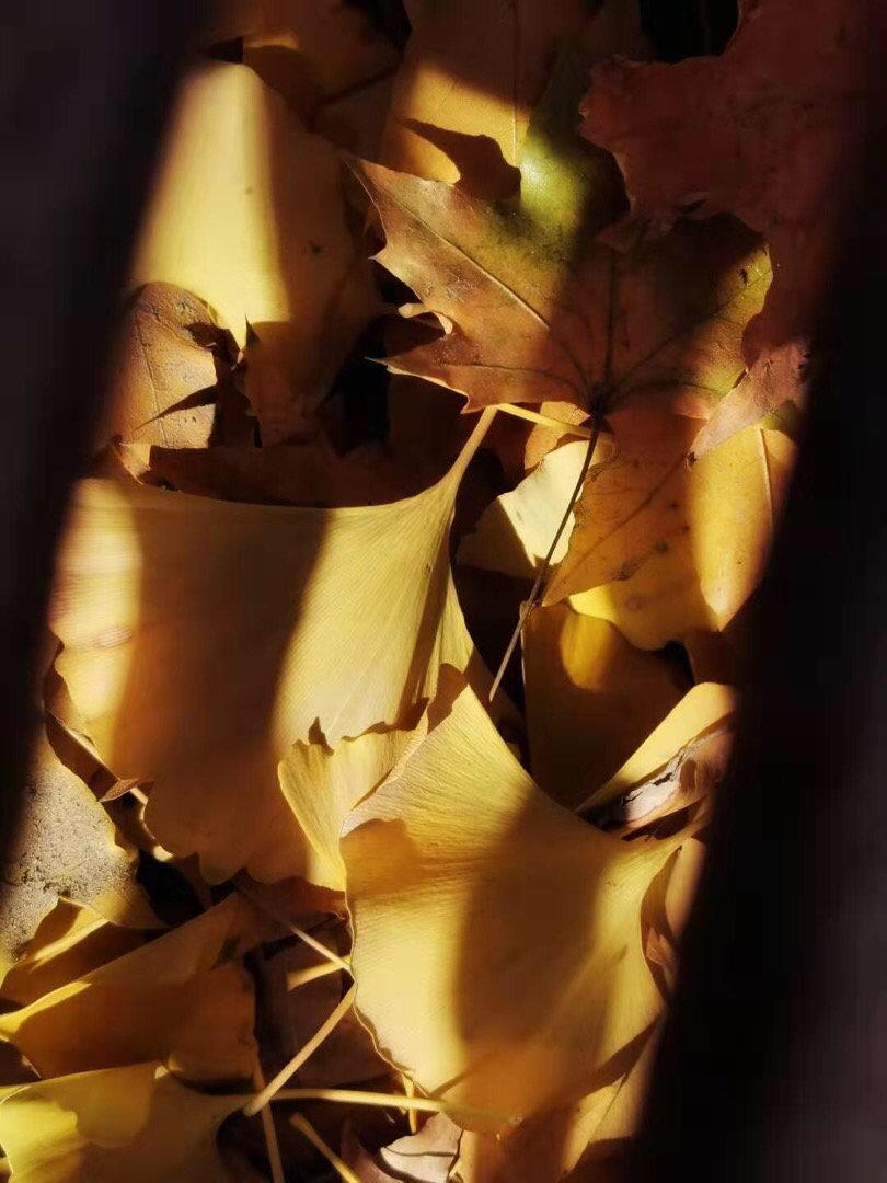 银杏 一夜雨四季变换如此之快昨天还满树招摇的银杏叶今天便已落满