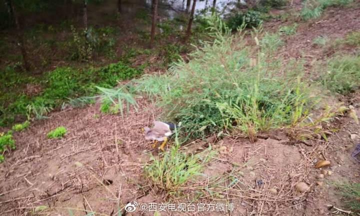 临潼森警:救助一只灰头麦鸡放归大自然