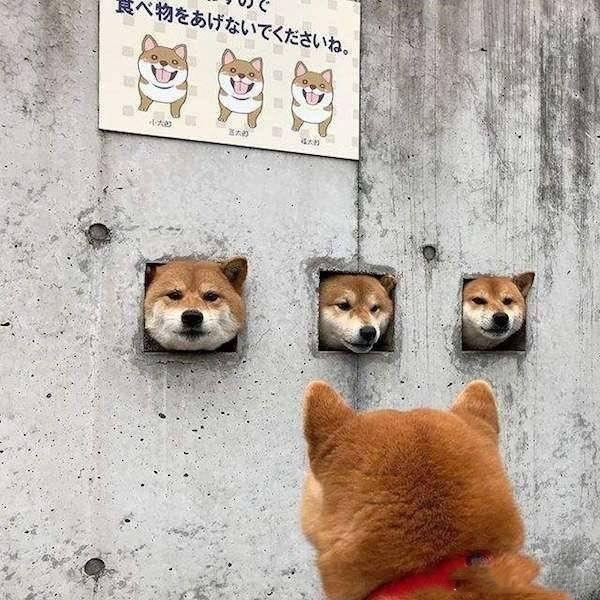 日本岛原,当地高尾医生在医院的三只柴犬。它们喜欢钻出墙壁洞