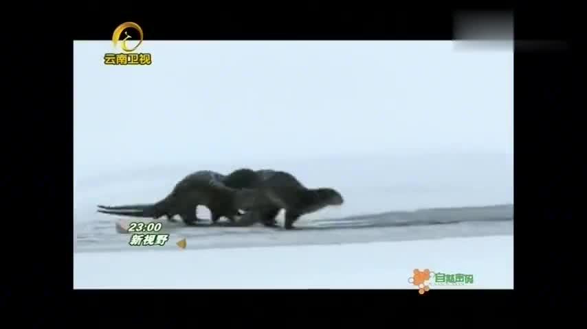 自然密码:四五个月都没进食!母熊刚结束冬眠,就带幼崽去找食物