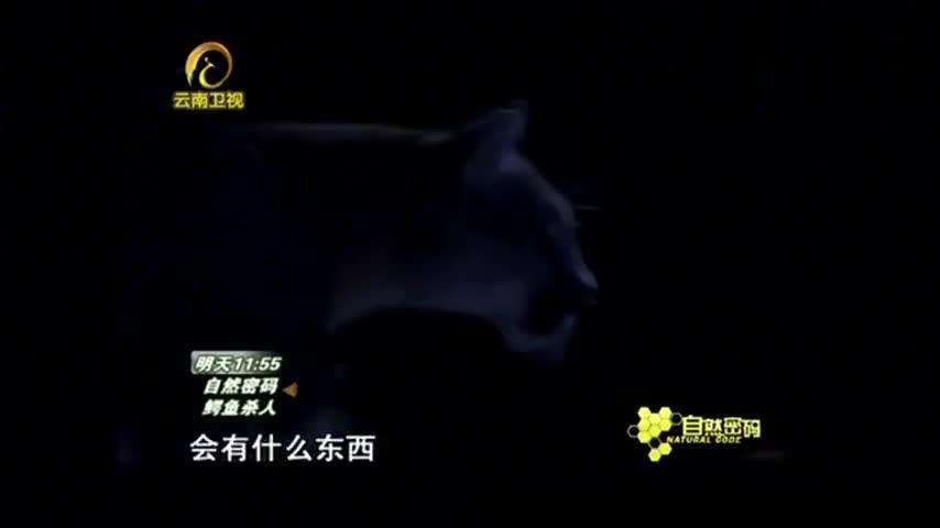 自然密码:美洲狮突然袭击人类,路人察觉不对,慌忙停车营救!