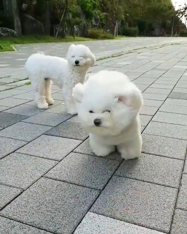 狂风也要出门溜达的狗狗,本棉花糖绝不认输,太可爱了叭