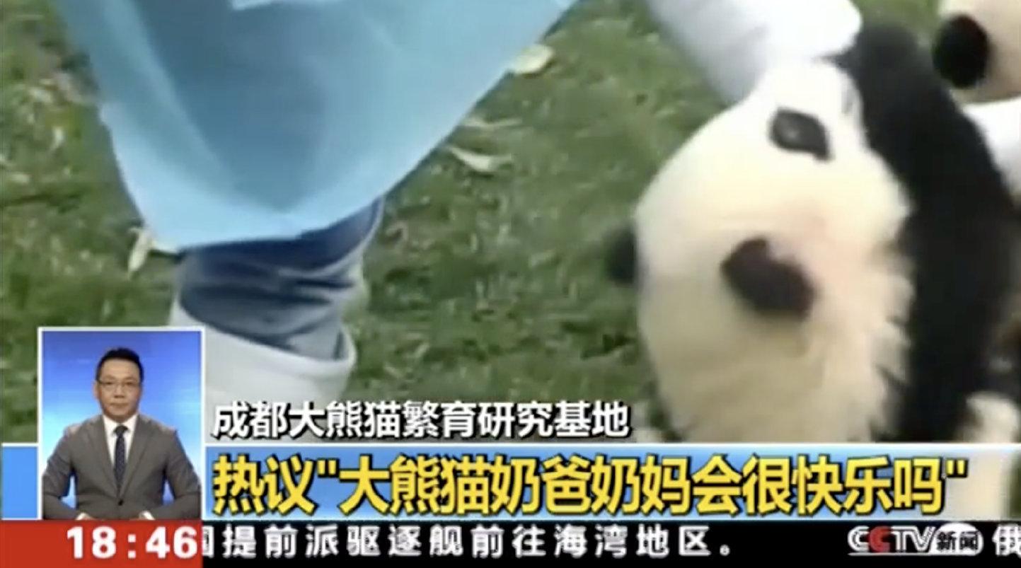 """""""大熊猫奶爸奶妈会很快乐吗?""""话题引热议"""