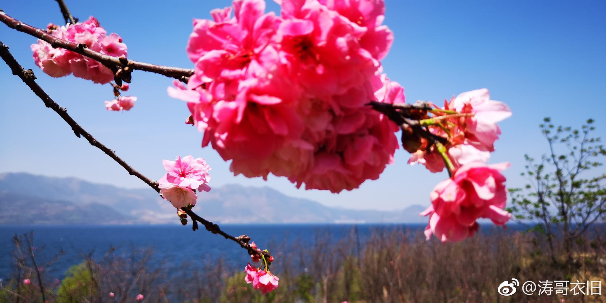抚仙湖世家樱花节