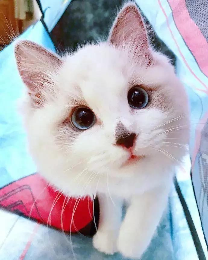 一只漂亮可爱的猫咪,鼻子黑黑的,一双蔚蓝的大眼摄人心魄!