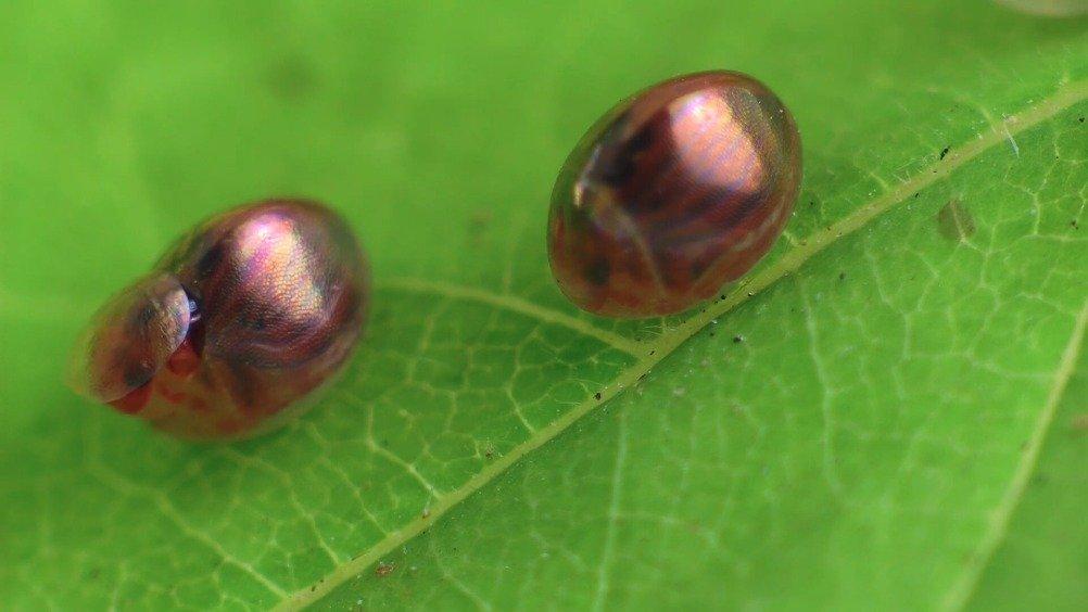 从受精卵到孵化的猎蝽