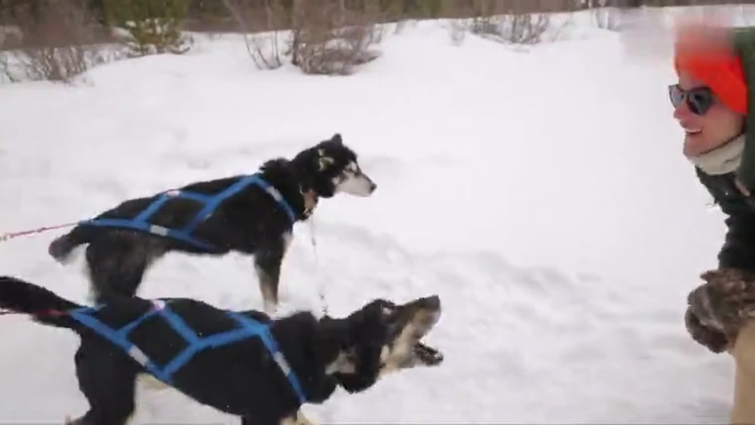 铁叔体验在 @加拿大艾伯塔省旅游局  艾伯塔省斯普雷湖上坐狗拉雪橇