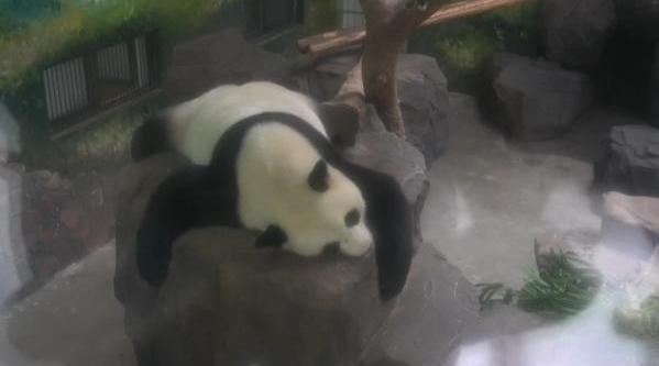 南京:雌性大熊猫普遍存在的现象