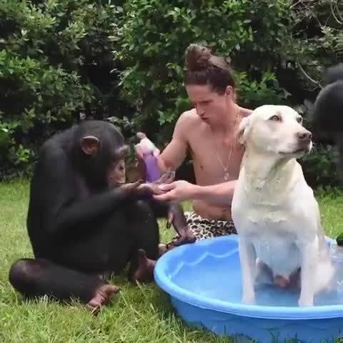 猩猩这手法,简直成精了,我们一起给狗子洗澡哈哈哈哈哈哈哈哈