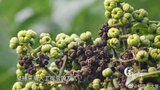 吴茱萸辛辣气味易招虫,老彭追求绿色天然竟然采取人工捉虫方法