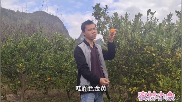 农村小伙子去地里采摘柑橘,摘得柑橘一个比一个大,好多都不要了