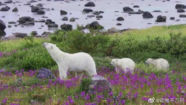 北极熊长期以来一直依靠海冰捕猎,可现在夏季变得越来越长了