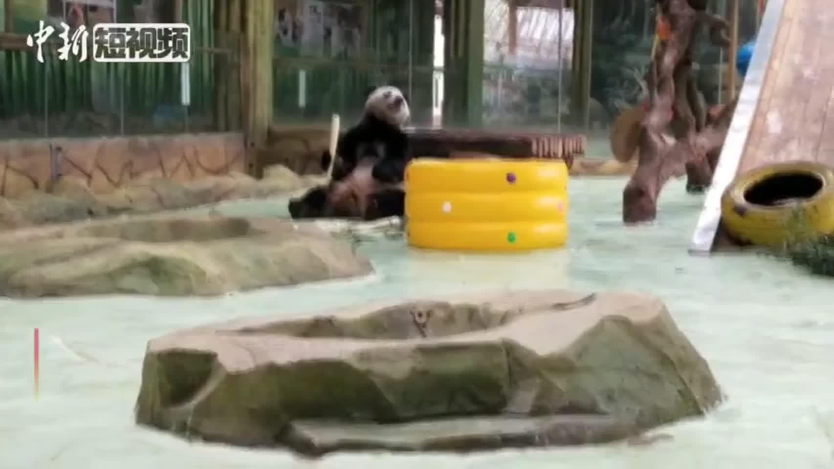 """海归大熊猫春节吃江南味""""年夜饭"""""""