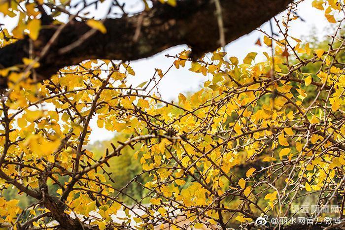 丽水这棵老银杏,树龄超过400岁……