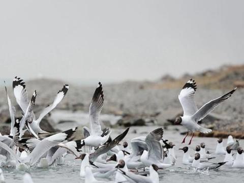 青海湖鸟岛坐落在青海湖的西北隅,分为一东一西两岛
