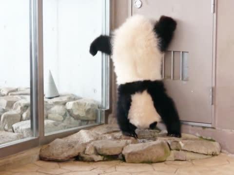 大熊猫骄傲地表演倒立,粉丝们见到后,掏出手机拍个不停