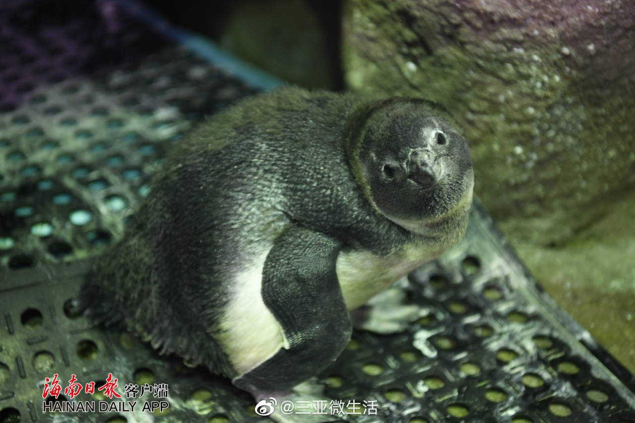 萌物来了!这只人工孵化的斑嘴环企鹅亮相三亚