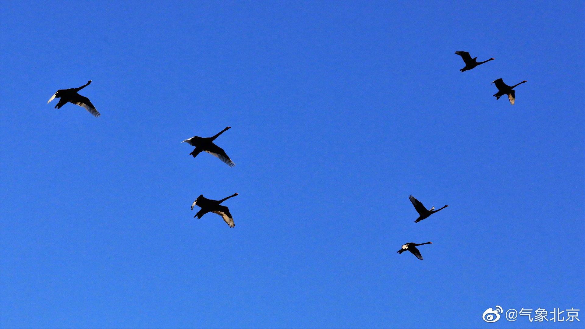蓝天与黑天鹅(兔兔摄于@圆明园遗址公园 )