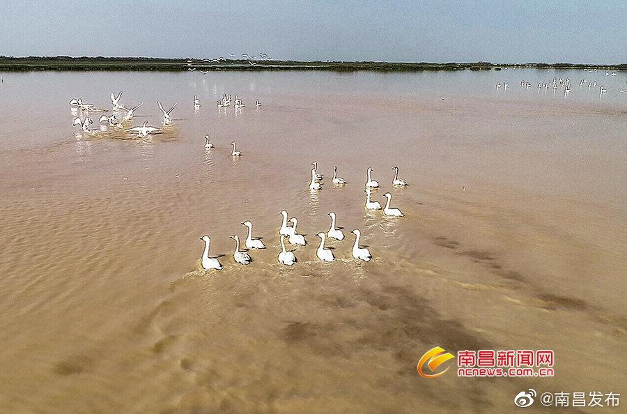 鄱阳湖越冬候鸟即将迎来高峰期