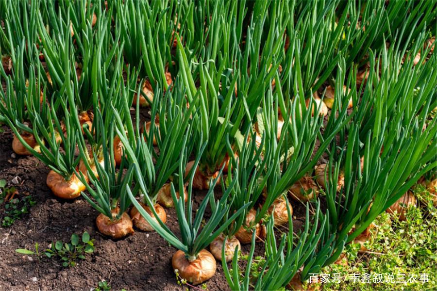 洋葱种植,需要在中性故事中,这样有利于鳞茎膨大和根系吸收!土壤芥末的大虾图片