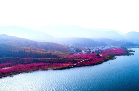 我在抚仙湖畔等你!第三届云南抚仙湖樱花节3月30日盛大开幕!