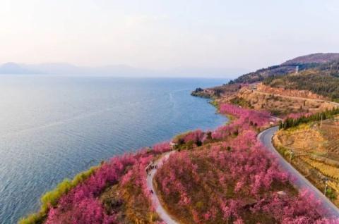 第三届云南抚仙湖樱花节3月30日开幕!我在抚仙湖畔等你