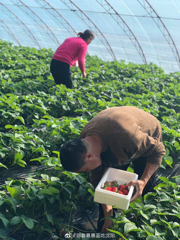 风雪如期而至,又是一年一度丹东草莓季!不打农药,靠蜜蜂授粉