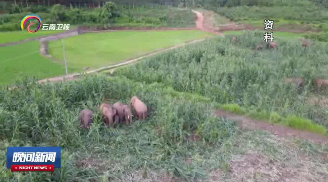 """云南建设近上万亩亚洲象专属""""食堂"""" 减少象群入村避免人象冲突"""