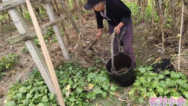 农村60岁的奶奶挑水浇菜,自己种的不用花钱买,劳动一点也不辛苦