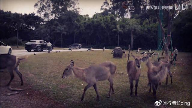 广州长隆野生动物园看动物,身临其境恐龙的低盘,有点刺激!