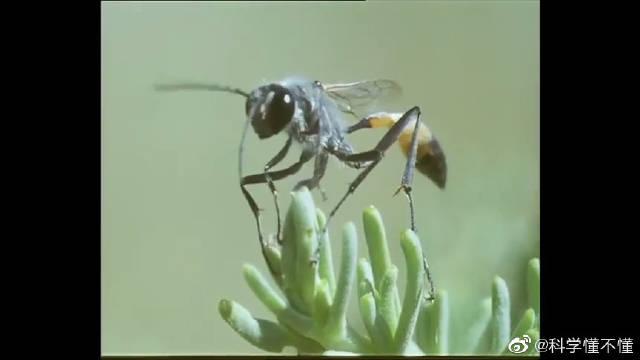 寄生蜂把卵植入毛虫体内