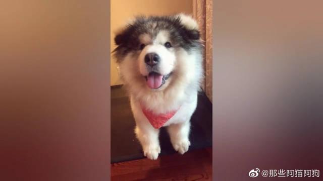 两岁多的阿拉斯加犬,还长着一张娃娃脸,肉丸子童颜不老!