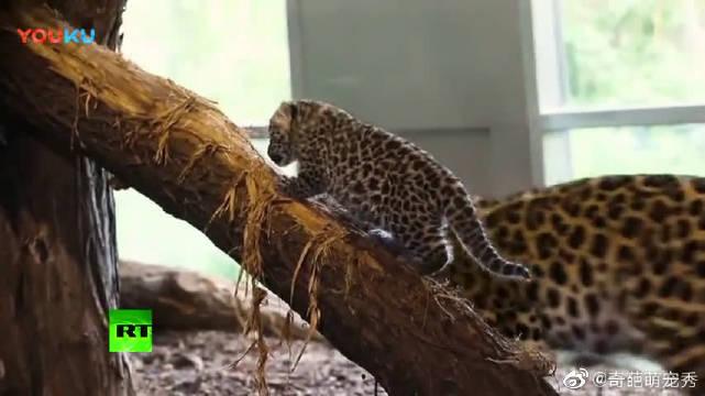 维也纳动物园迎来两只远东豹宝宝