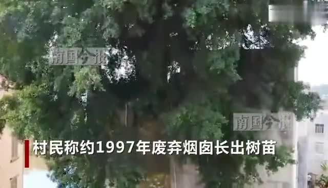 硬核榕树野蛮生长!广西灵山县18米烟囱上长榕树成奇观