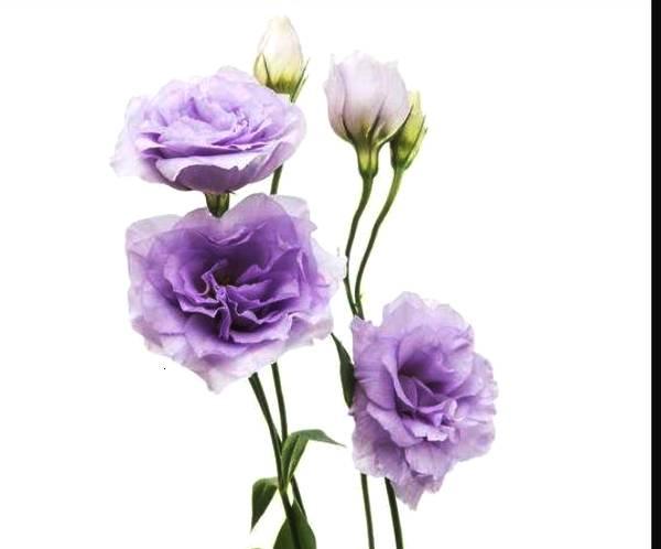 洋桔梗:花形典雅的洋桔梗花比月季花还漂亮,非常好养殖