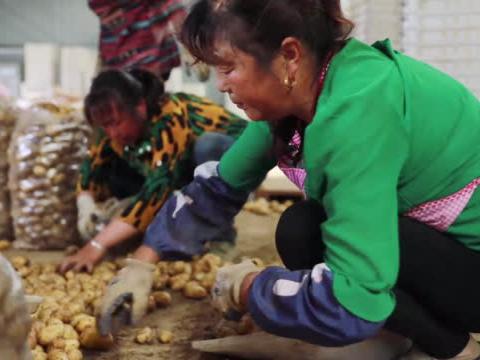 凯龙楚兴硝基肥助力订单农业,土豆亩均增产1000斤