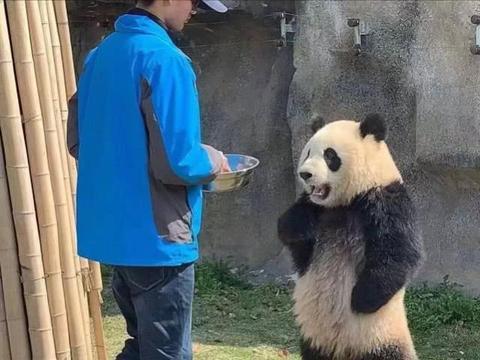 饲养员怠慢了熊猫,熊猫相当生气:我是国宝,你不知道吗?