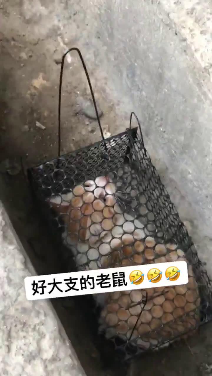 误入捕鼠笼被群嘲猫猫不要面子的吗