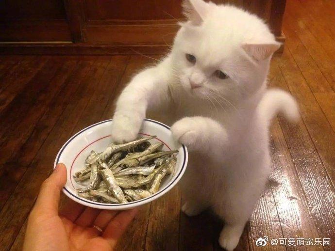 一只吃货猫每次看到食物都忍不住会用爪子去碰碰
