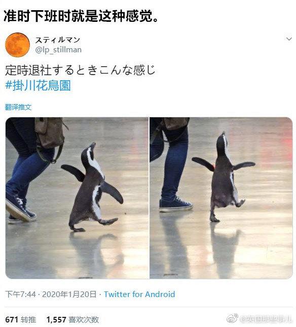 静冈县挂川花鸟园里,一只小企鹅走路的欢快感